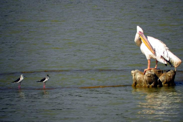 Gujarat_Bhuj_HamirsarLake_Pelican
