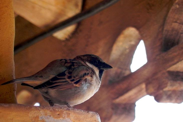 Gujarat_Bhuj_Pragmahal_Sparrow