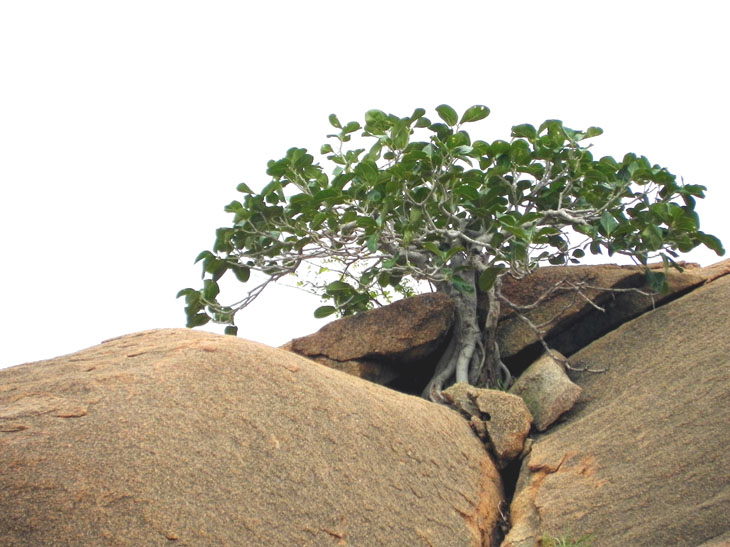 Hampi_MathangaHill_HardyTree