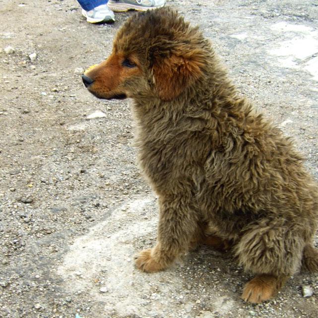 Leh - Chang La doggie