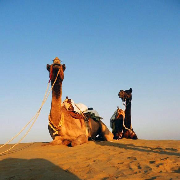 Jaisalmer - Desert camels