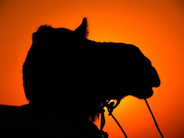 Jaisalmer - Sunset camel