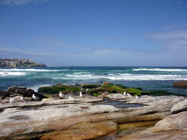 Sydney - Bondi seagulls