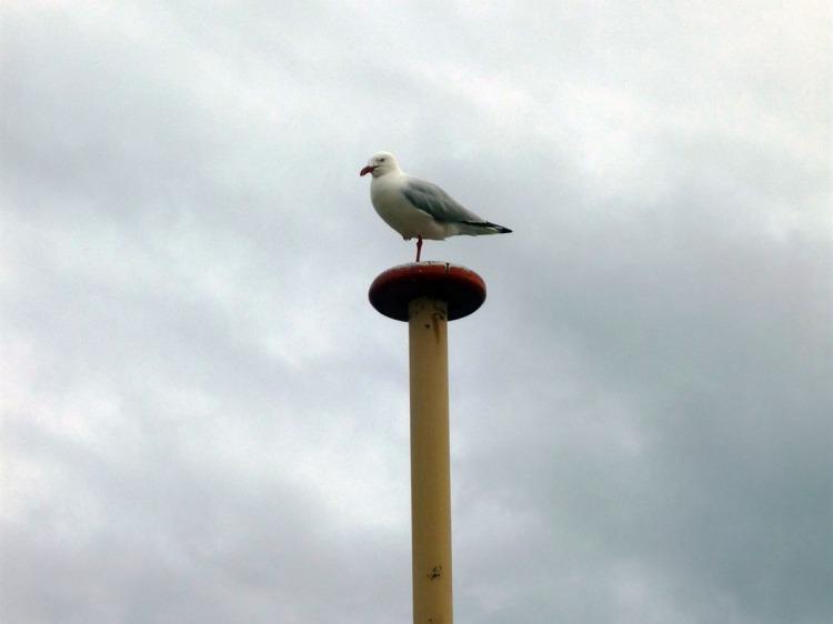 Sydney - Manly seagull