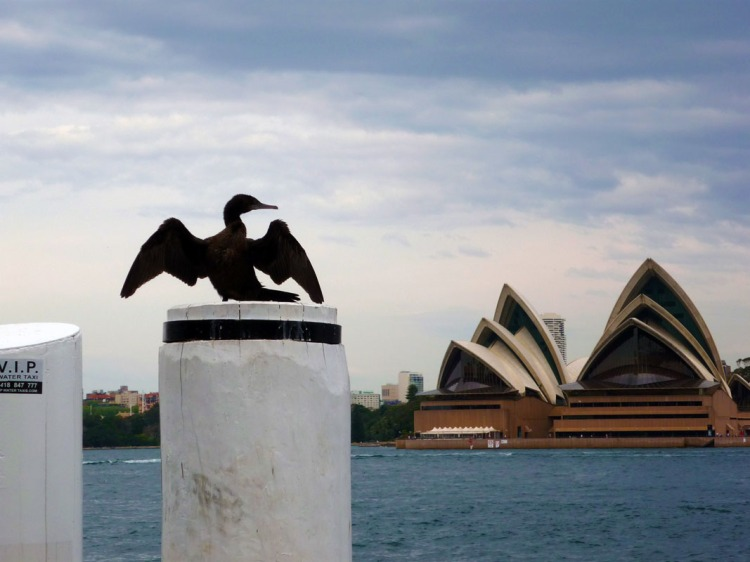 Sydney - Opera House cormorant