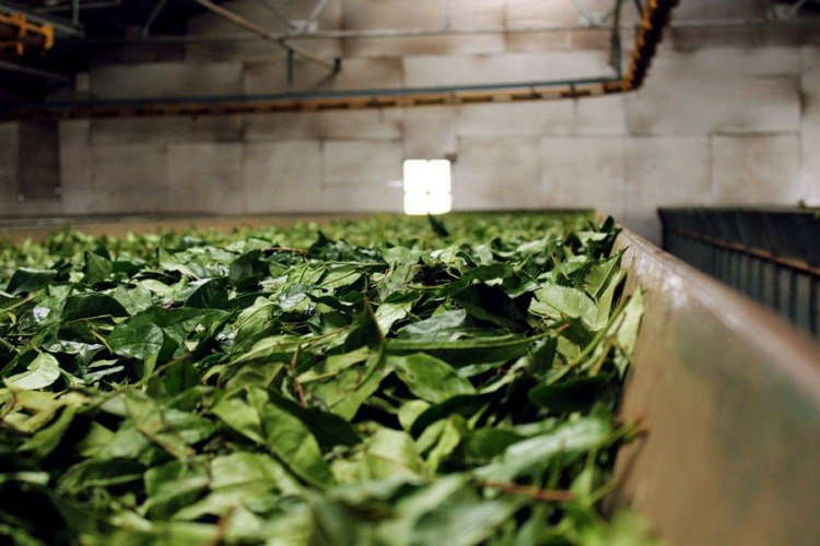 Coonoor - Tea plantation - Drying leaves