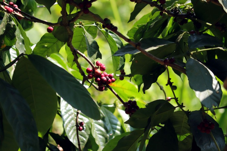Valparai - Coffee berries